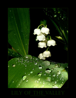 Lily Of The Valley by angelicque