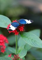 Butterfly II by NorthernLand