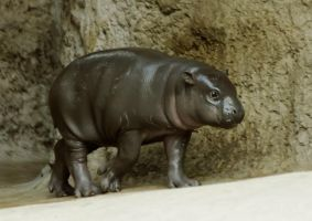 Hippopotamus 7 by Drezdany-stocks