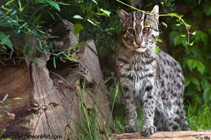 Fishing Cat III by amrodel