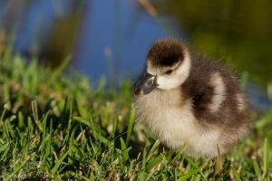 Baby Egyptian goose again 1 by CyclicalCore