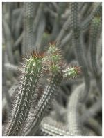 Cactus by eosthilas