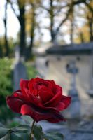 cemetary roses by akthuro
