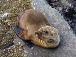 Newborn Sea Lion Pup by Glacierman54