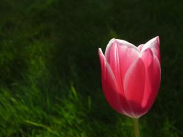 Tulip by shaylee-2