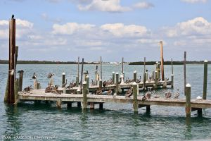 Pelicans on a Dock by RyBH