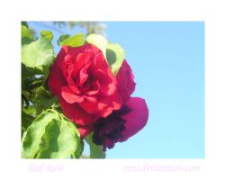 Red Rose by Eeni
