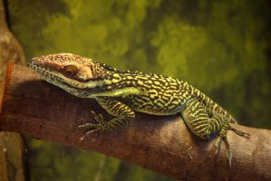 Oriente Knight Anole by emcorpus