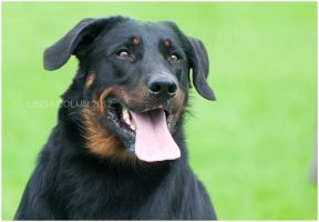 Beautiful Beauceron by KonikPolski