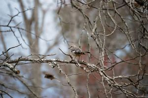 Northern Mockingbird II by jennalynnrichards
