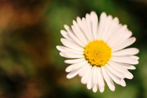 Daisy Wallpaper by pohlmannmark