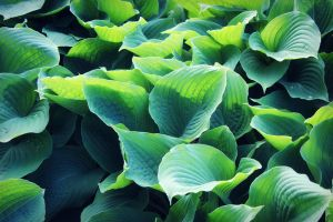 Hosta leaves III by miss-gardener