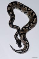 Axanthic Ball Python by LeoGg