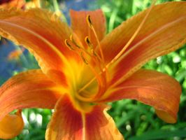 Tiger Lilly I by Holly6669666