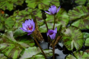 Purple Water Lily by Doumanis