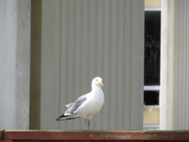 Seagull on the fence by Xario1
