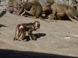 Baboon baby by decors