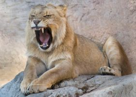 Yawning Lion by kingcrane