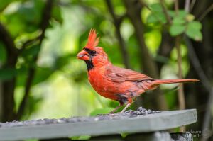 Northern Cardinal (male) by GuillaumGibault