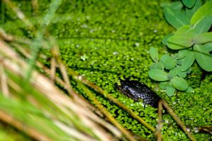 Snake in a Swamp by IV47E