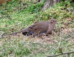 Mourning Dove... by billndrsn