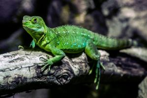 Lizard 6 by tpphotography