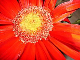 red daisy by ANDMAiYESi1986
