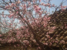 Peach blossom on a tree by WolfDemonG