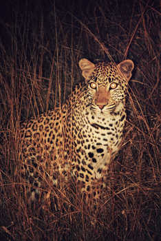 Leopard in the Wild by CompassLogic