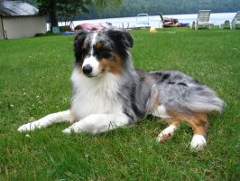 Australian Shepherd 4 by SunnyBlueDay