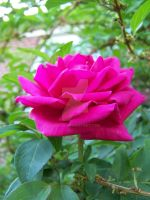 A Pink Rose by J3sca