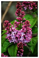 Purple Lilacs by erbphotography
