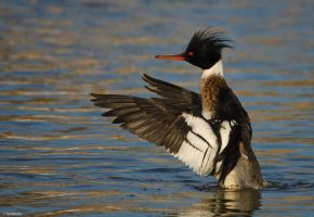 Merganser Magic II by TerribleTer