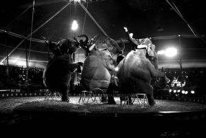 Circus Elephants by larrymarsh