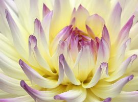 Dahlia Candy 5 by andras120