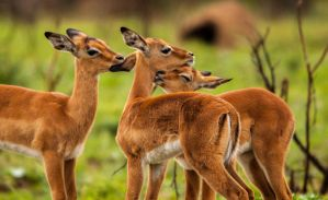 Impala Lambs by PhilippeduPreez