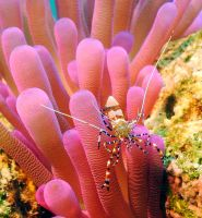 Spotted cleaner shrimp 2 by g--f