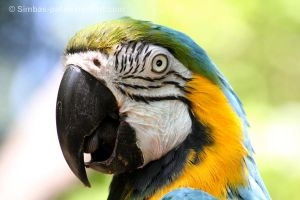Blue-and-Yellow Macaw by Simbas-pal