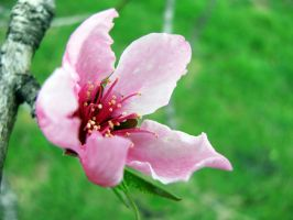 Peach Tree Flowering by GirlyGamerGeek