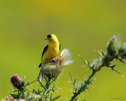 GoldFinch on Thistle by natureguy
