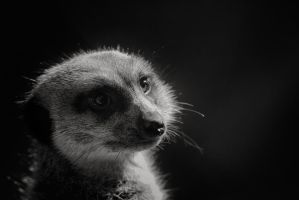 Speaking of Meerkats by clippercarrillo
