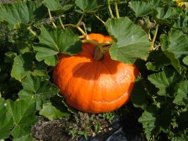 pumpkin by Its-Only-Stock