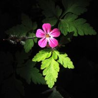 Herb Robert, Under Yew by EarthHart
