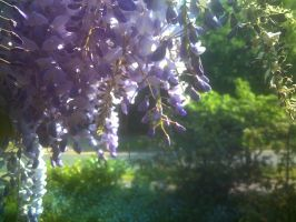 Wisteria again by Concalefacio