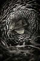 Country Chicken 13 by S-H-Photography