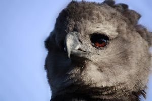 Harpy Eagle by parrothead529