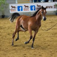 STOCK - 2014 Arabian Gala-44 by fillyrox