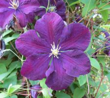 Lilac clematis 3 by Kattvinge