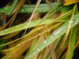 Grass+Drops... by othum