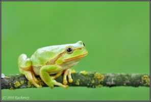 Hyla arborea XIII by Dark-Raptor